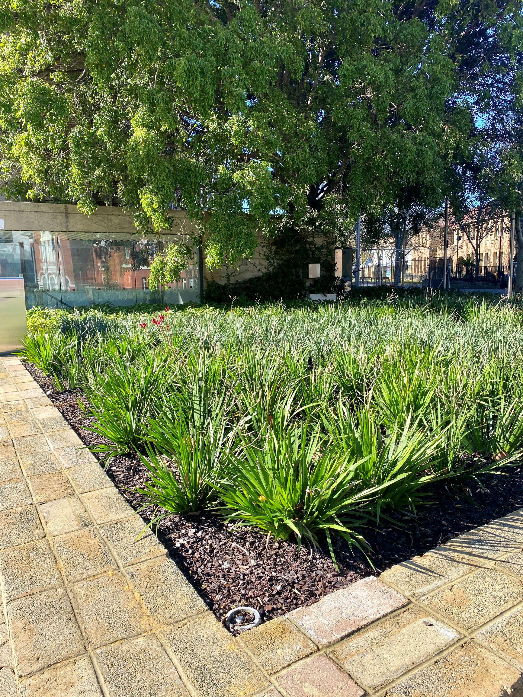 Perth Museum subsurface drip irrigation installation garden bed 3